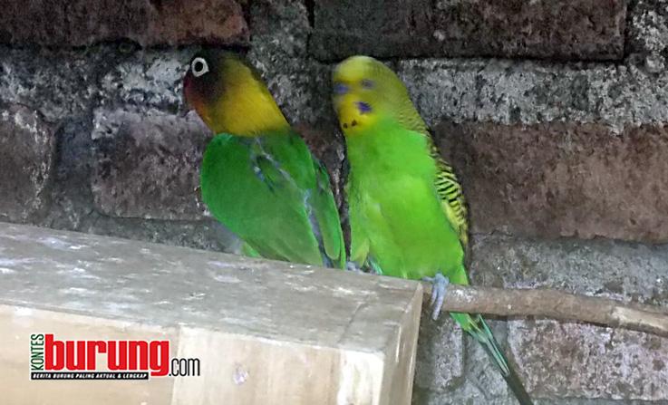 Silangan Love Bird dengan Parkit
