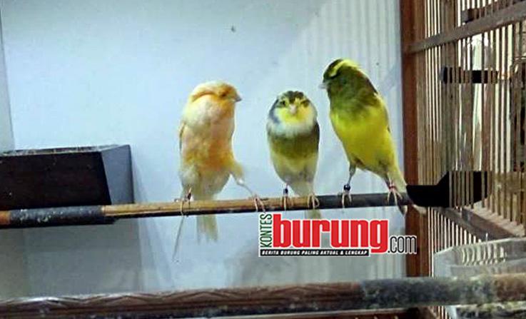 Breeding Kenari TJM BF Casol Bogor