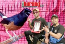 Murai Pangeran Muda Milik Mr.Kiki Ares KAW Team Depok